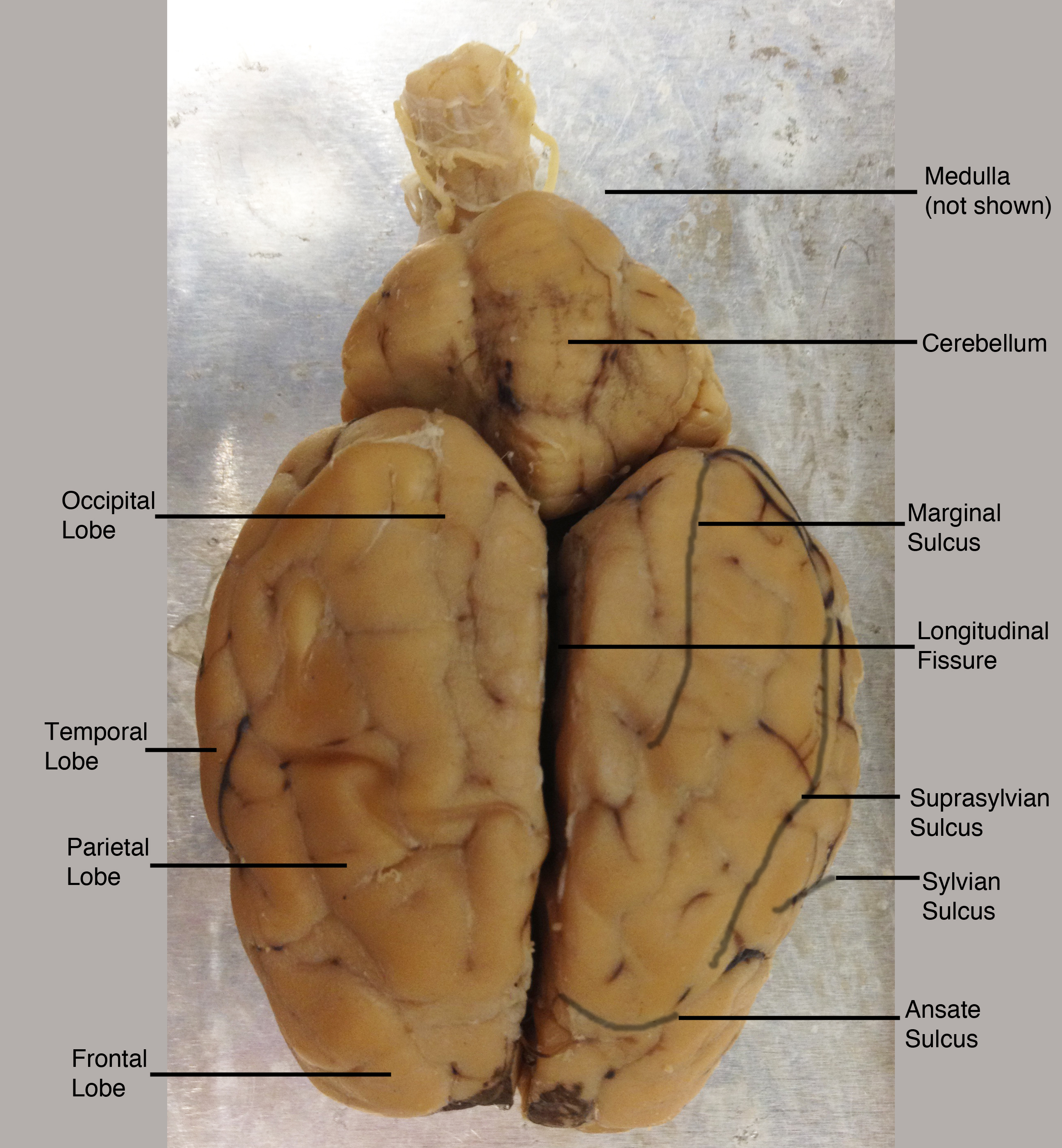 Sheep Brain Anatomy Ventral