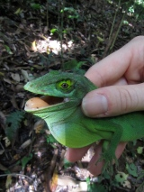 Forest anoles and Urbananoles