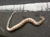 Roadkill Boa constrictor