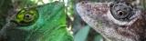 Brown Anolis cuvieri